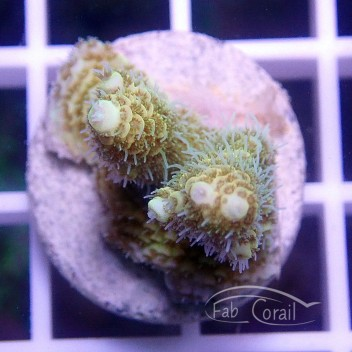 Acropora microclados pikachu indonésie acro1550