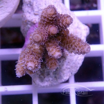 Acropora millepora gold indonésie acro1556