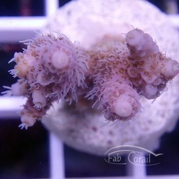 Acropora millepora indonésie acro1558