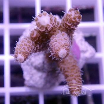 Acropora millepora indonésie acro1559