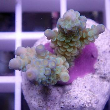 Acropora tenuis bleue indonésie acro1573