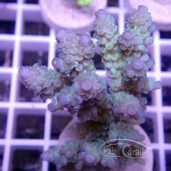 Acropora tenuis bleue indonésie acro1575