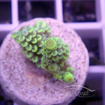 Acropora tenuis jaune indonésie acro1578