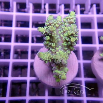 Acropora tenuis jaune indonésie acro1580