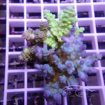 Acropora tenuis homewrecker indonésie acro1595