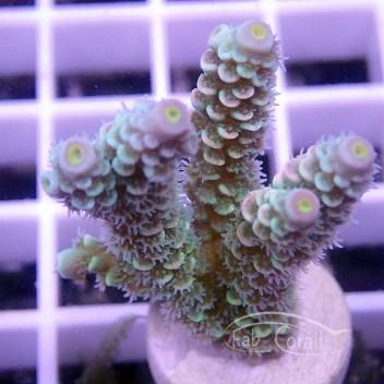 Acropora tenuis walt disney indonésie acro1599