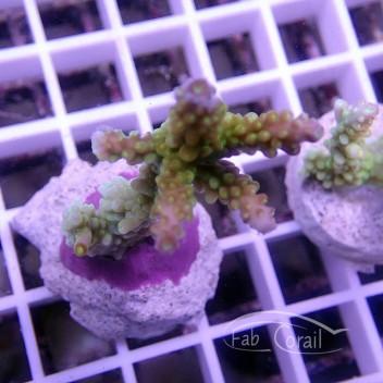 Acropora Natalensis indonésie acro1570