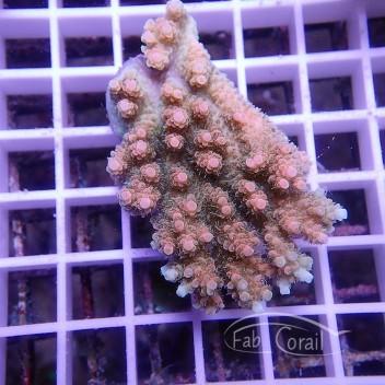 Acropora hyacinthus jaune bleu acro1477