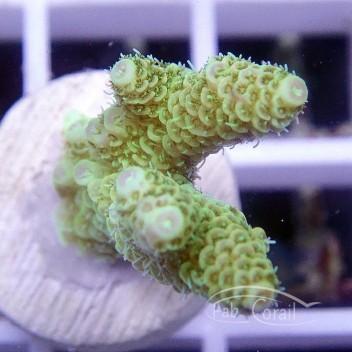 Acropora millepora gold indonésie acro1616