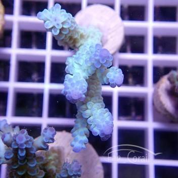 Acropora tenuis bleu acro1618