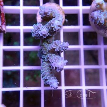 Acropora tenuis bleu acro1620
