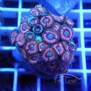 Zoanthus violet Z354