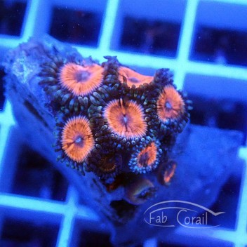 Zoanthus violet Z355