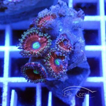 Zoanthus candy apple purple indonésie Z373
