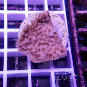 Montipora palawanensis rouge indo monti777