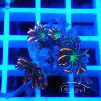 clavularia tricolor clavu73