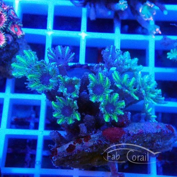 clavularia tricolor clavu74