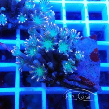 clavularia vert clavu75