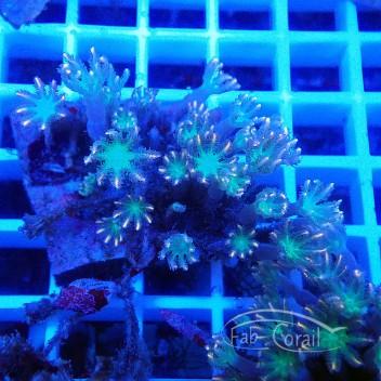 clavularia tricolor clavu76