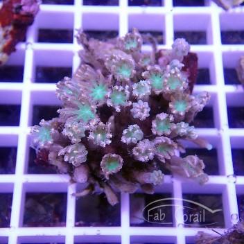 clavularia tricolor clavu77