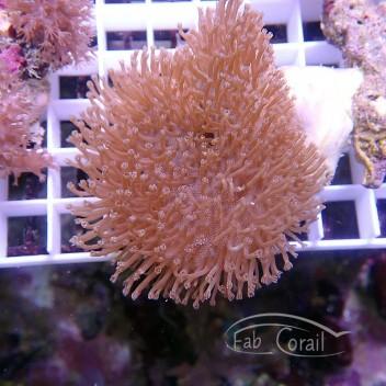 Sarcophyton polype blanc sarco154