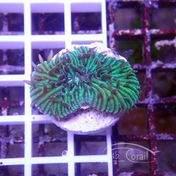 Cycloseris bleu vert (mini-fungia) fungia108