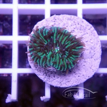 Cycloseris bleu vert (mini-fungia) fungia129