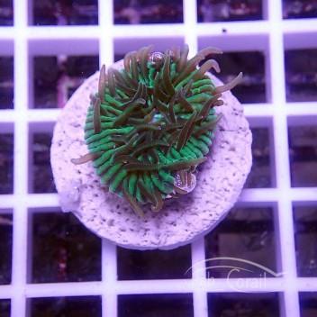Cycloseris bleu vert (mini-fungia) fungia130