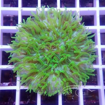 Cycloseris orange jaune fungia117