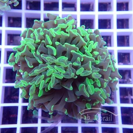 Euphyllia ancora bicolor euphy832