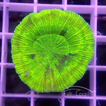 Trachyphyllia vert fluo trachy110