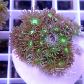 Goniopora rouge gonio160