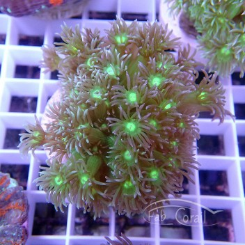 Goniopora vert bleu gonio162