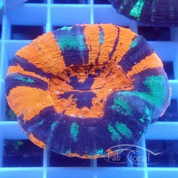 Homophyllia australis wairpaint Scolymia australis scoly90