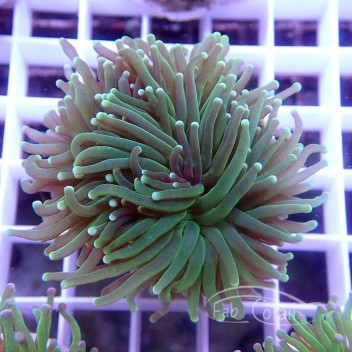 Euphyllia glabrescens euphy864