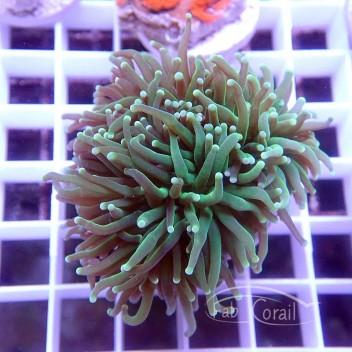 Euphyllia glabrescens euphy863