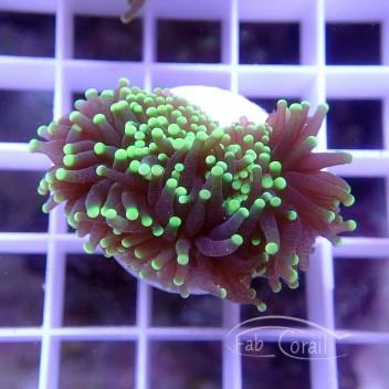 Euphyllia glabrescens euphy856