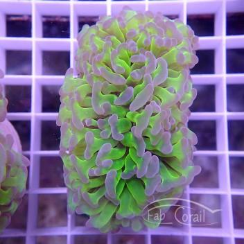 Euphyllia ancora crystal vert euphy844