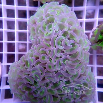 Euphyllia ancora crystal vert L euphy842