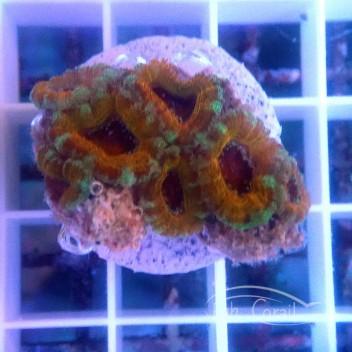 Acanthastrea lordhowensis orange AL1461