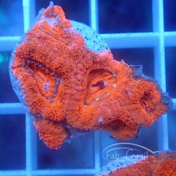 Acanthastrea lordhowensis rouge vif AL1466