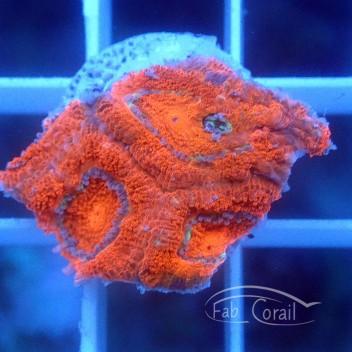 Acanthastrea lordhowensis rouge vif AL1467