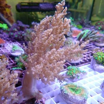 Lithophyton arboreum XL
