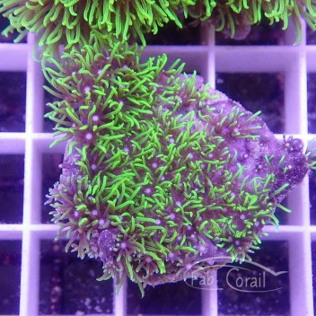 Pachyclavularia vert fluo pachy91
