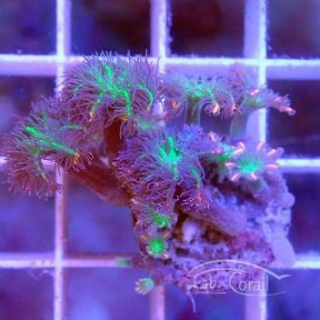 clavularia tricolor clavu84