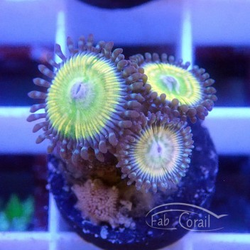Zoanthus lord of ring Z493