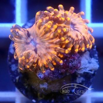Zoanthus SunnyD Z498