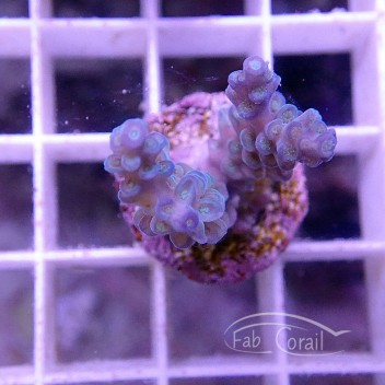 Acropora carduus red dragon acro2034