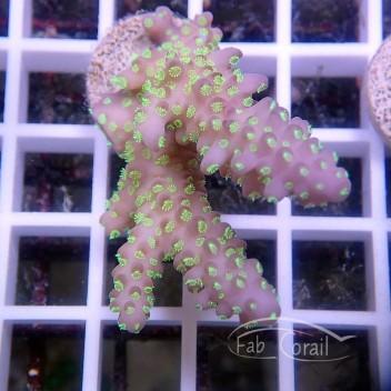 Acropora sp tricolor australie acro2046