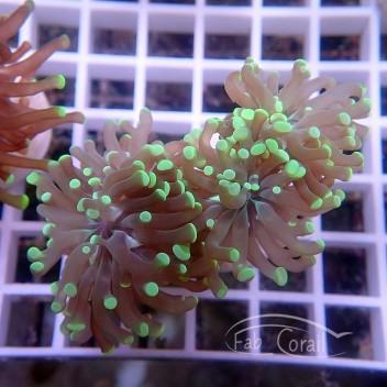 Euphyllia bicolor sp euphy883